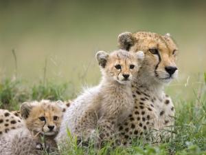 animals cheetahs cubs baby animals 1600x1200 wallpaper_www.wallpaperfo.com_44