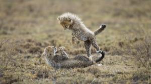Baby-Cheetah-Playing-HD-Wallpaper
